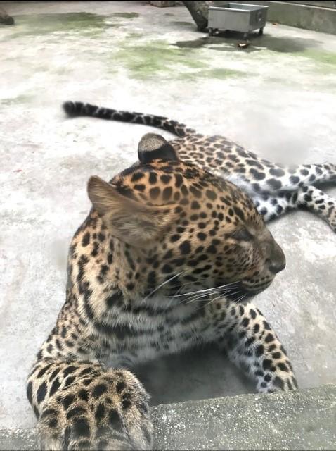 cheetah-Asia