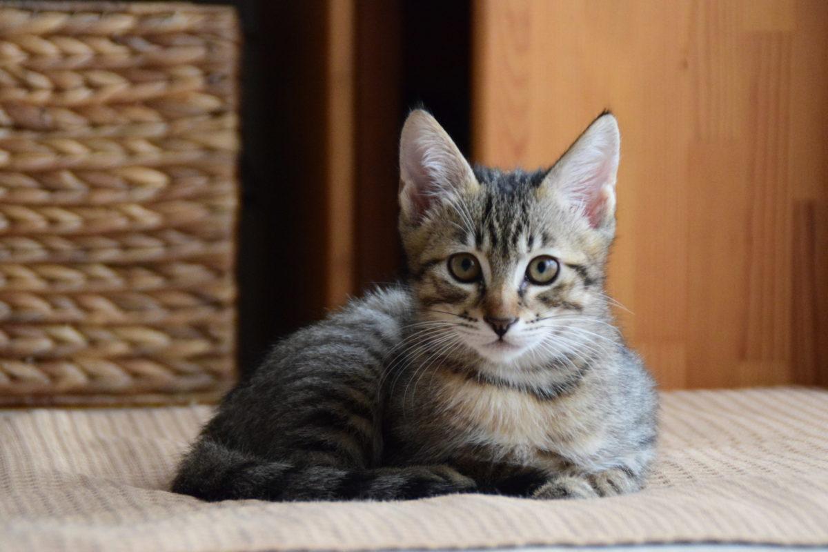 kijitora-cats